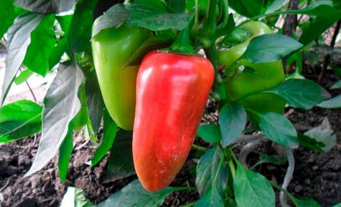 Описание сорта перца Красный бык, его характеристика и урожайность