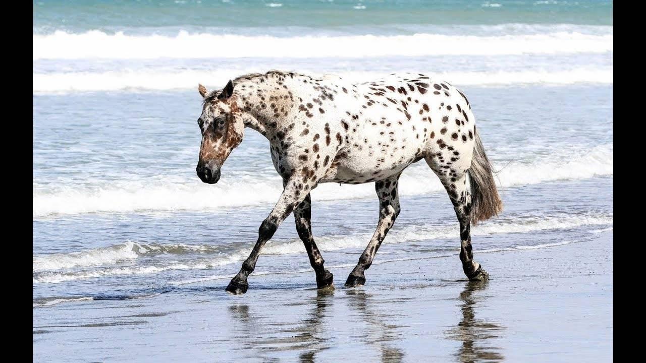 Карачаевская лошадь: полное описание породы