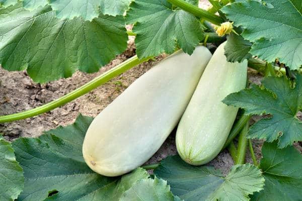 Почему плохо растут кабачки и желтеют в открытом грунте, что делать, лечение