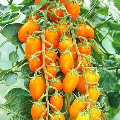 Отличный урожайный сорт томатов для начинающих огородников — это «медовая конфетка»