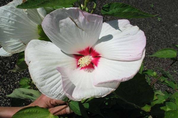 Цветы гибискус (китайская роза) – hibiscus: выращивание, описание и фото