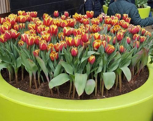 Способы размножения тюльпанов, советы по уходу за весенними цветами