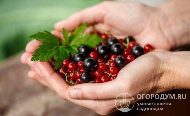 Особенности проведения обрезки смородины летом после сбора ягод