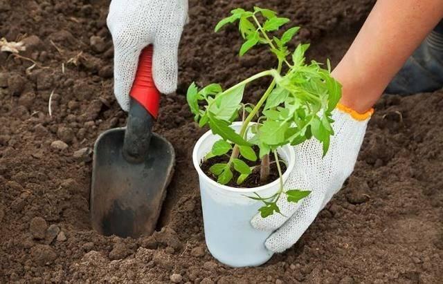 Как и когда высаживать рассаду перца в открытый грунт