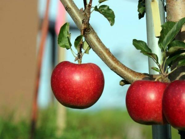 Яблоня глостер — разбираемся по порядку