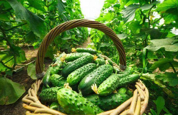 Секреты лучших агрономов: как вырастить огурцы в открытом грунте