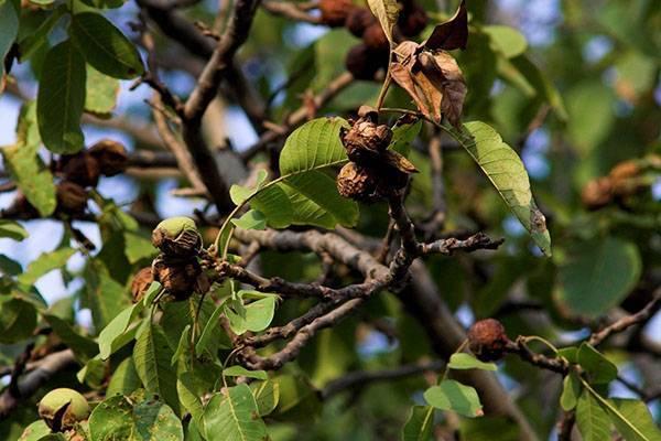 Вздутия на листьях грецкого ореха