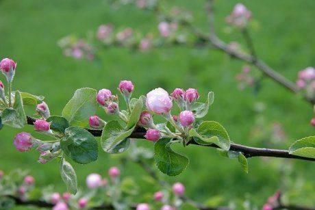 Почему яблоня не цветет и не плодоносит: почему это происходит причины и что делать
