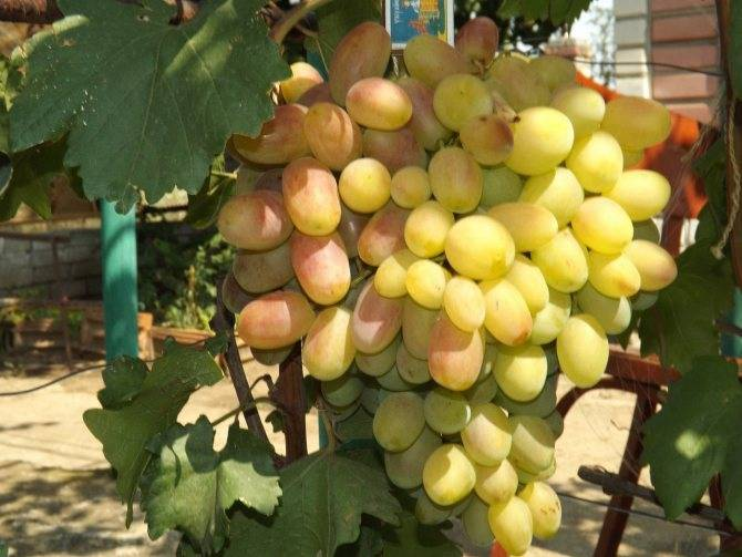 Неприхотливый гибрид любительской селекции — виноград нина, описание сорта и его фото