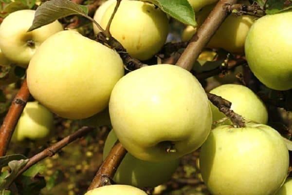 Поздние яблоки: сорта, подходящие для длительного хранения
