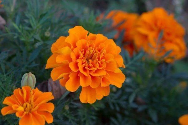 Полюбуйтесь на широчайшее разнообразие бархатцев! названия и фото популярных сортов цветка