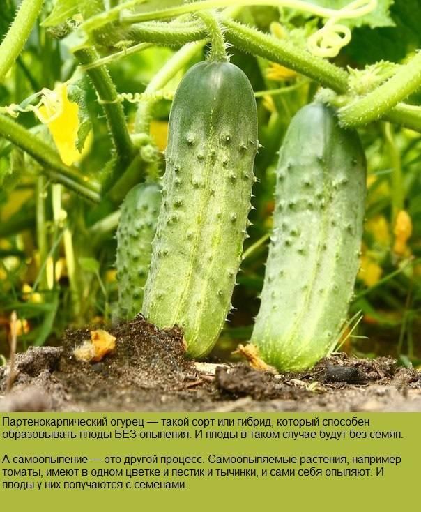 Отличный выбор для начинающих фермеров — огурец ерофей f1: описание и характеристика сорта