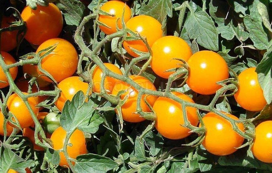 Сорт томата «золотая капля» — описание желтого мини-помидора с фруктовым вкусом