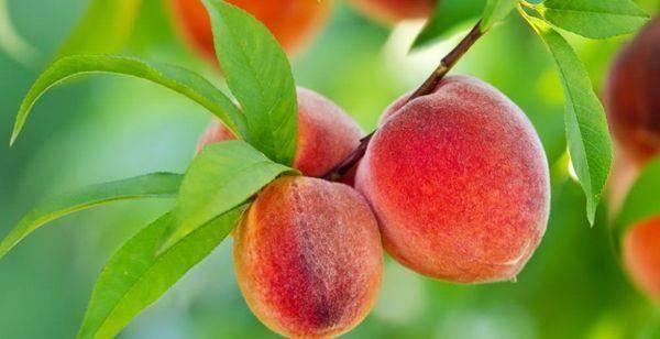 Сорта персиков