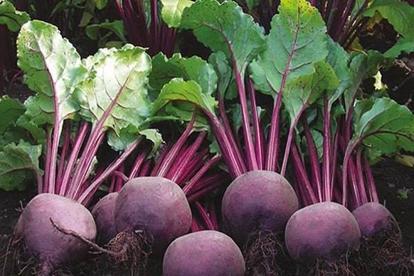 Описание лучших сортов свеклы, как собрать семена