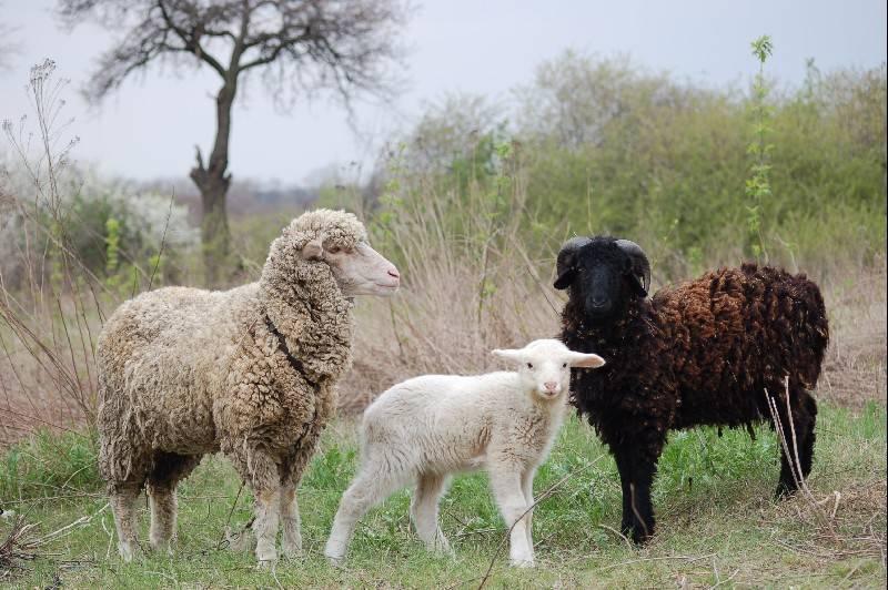Домашние овцы: предки и происхождение. происхождение и биологические особенности овец кто является предком современных курдючных овец
