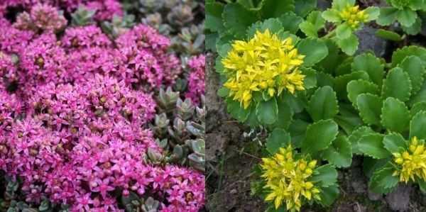 Как развести дивный сад или размножение очитка