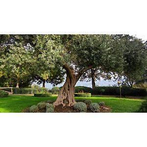 Европейское оливковое дерево: выращивание и уход