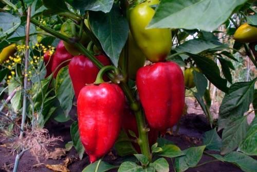 Подкормка дрожжами для большого урожая: советы и отзывы