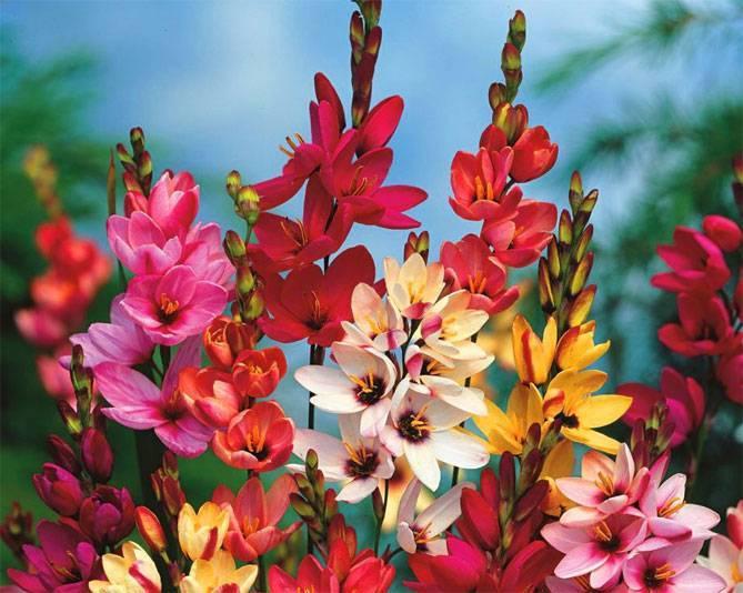 Иксия: виды и сорта, как выращивать в саду