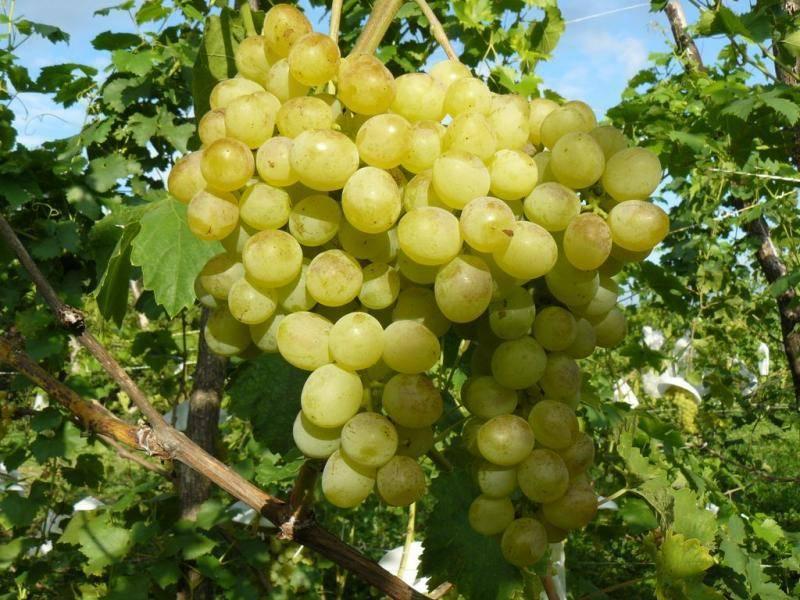 Сорт винограда – преображение: главные характеристики и правила выращивания
