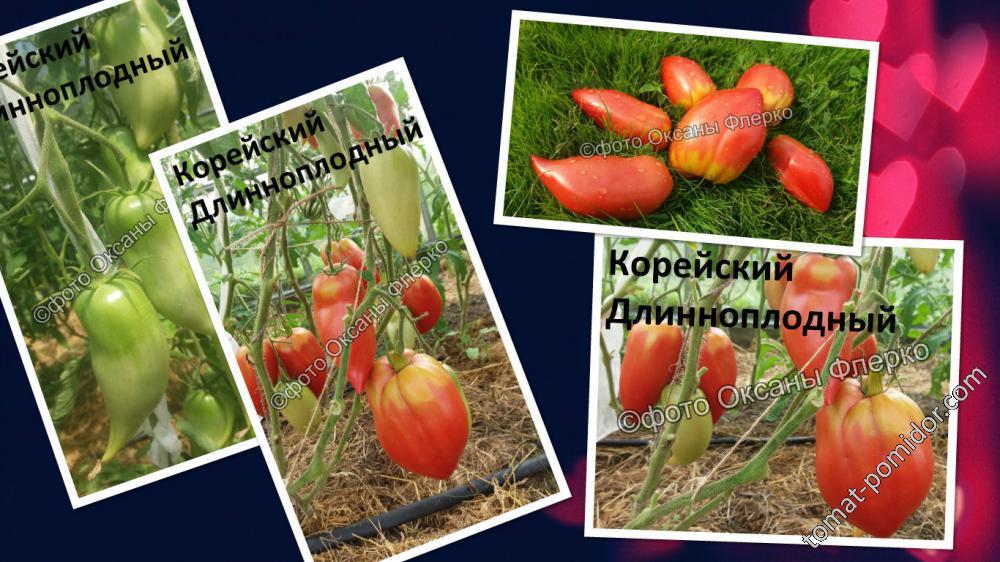 Томат корейский длинноплодный: характеристика и описание сорта, урожайность с фото
