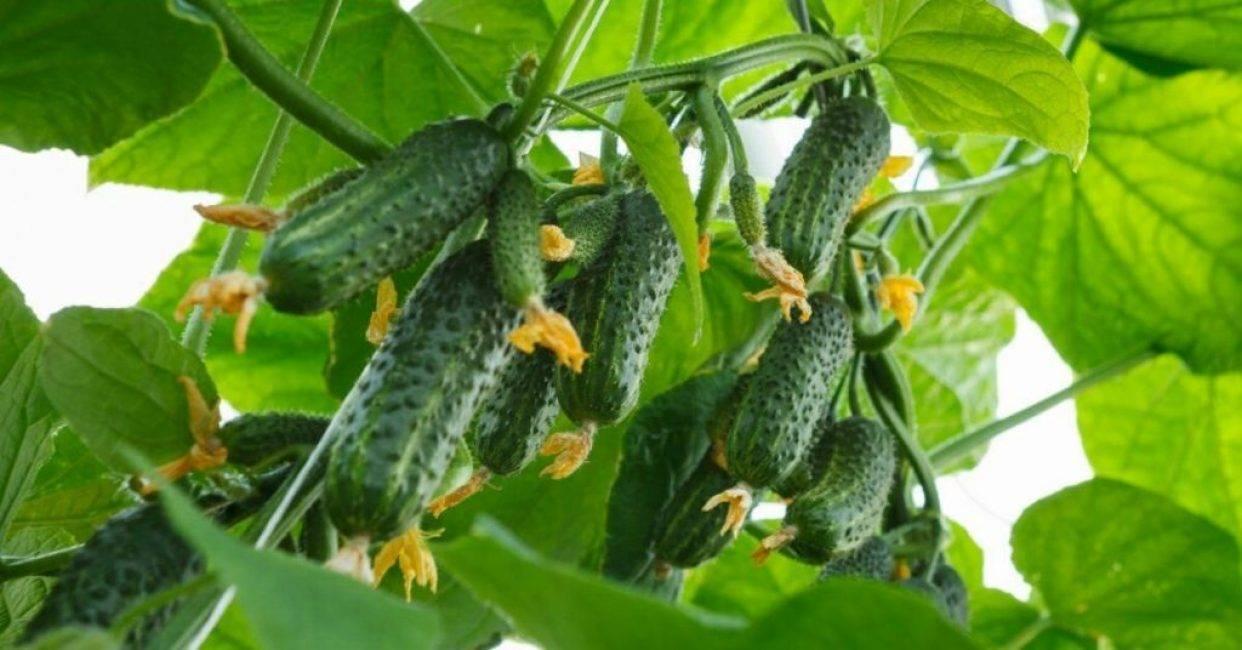 Поздний огурчик — радость огородника: обзор сортов