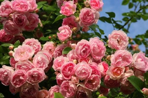 Выращивание и уход за фрезией в домашних условиях