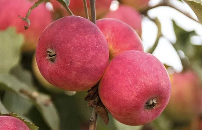 """Яблоня """"жигулевское"""": описание сорта, правила посадки и ухода"""