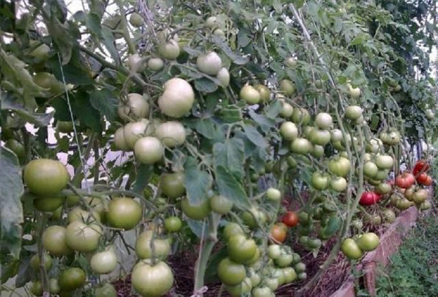 Уникальный гибрид из голландии — томат «пинк уникум» : описание сорта и фото