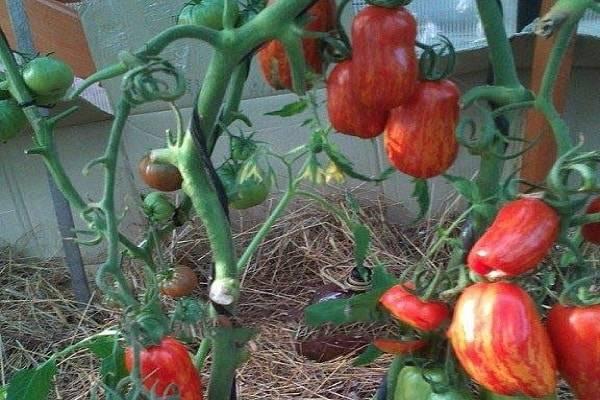 Описание сорта томата таунсвиль, особенности выращивания и ухода