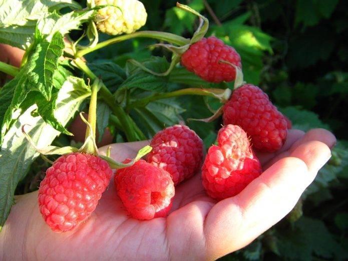 Малина «красная гвардия»: характеристика сорта и агротехника