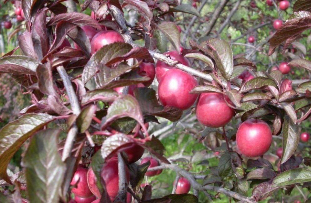 Алыча золотистая — описание сорта, фото и отзывы садоводов