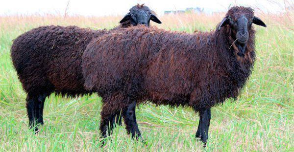 Характеристики бычков калмыцкой породы