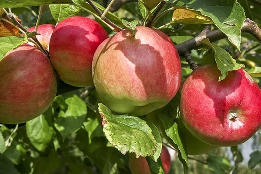 Описание сорта Яблоня Ковровое, основные характеристики и выращивание