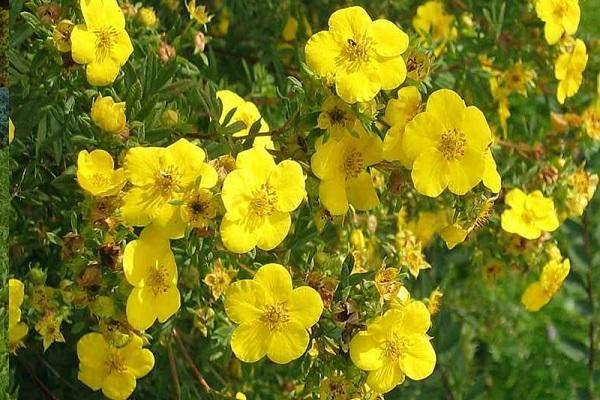 Лапчатка кустарниковая и травянистая уход и выращивание виды лапчатки с фото и названиями