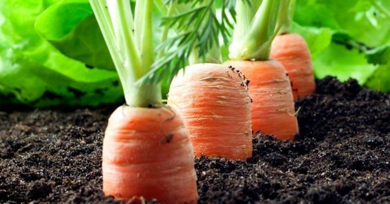 Секреты успешной посадки: как быстро прорастить семена моркови перед посевом?