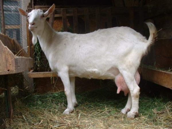 Почему коза постоянно орет и как эффективно отучить животное кричать
