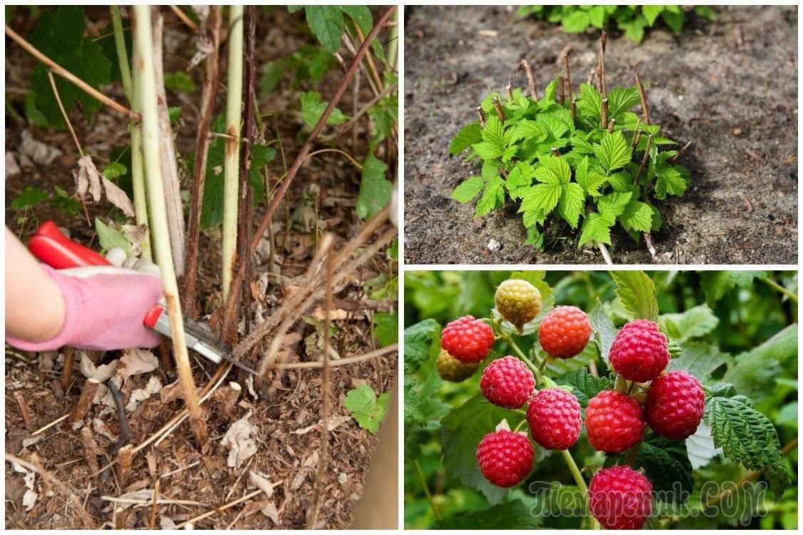 Правильный уход за малиной в июле и августе, после сбора урожая