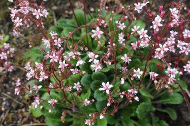 Растение камнеломка: описание и особенности выращивания