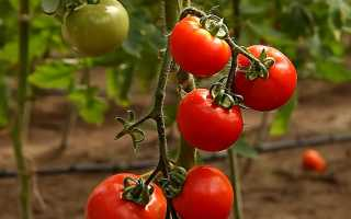 Список лучших сортов и гибридов помидоров с описаниями и характеристиками