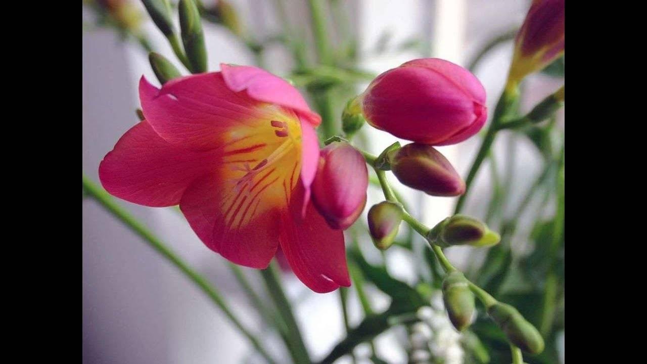 Капский ландыш — фрезия
