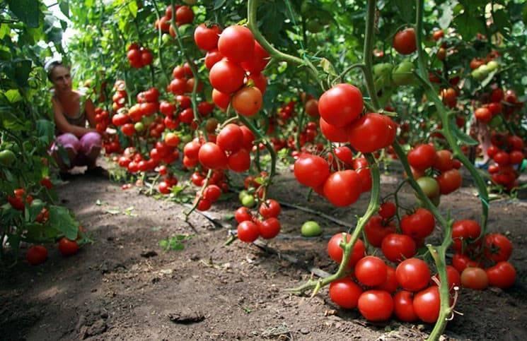 Высокоурожайный томат интуиция: характеристика сорта, особенности выращивания и борьбы с вредителями