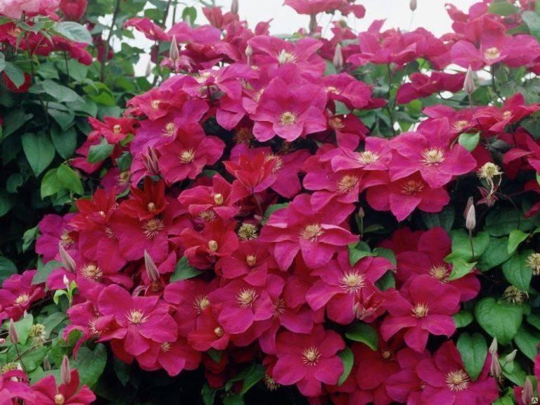 Добавим саду аристократичности с помощью клематиса кардинал вышинский