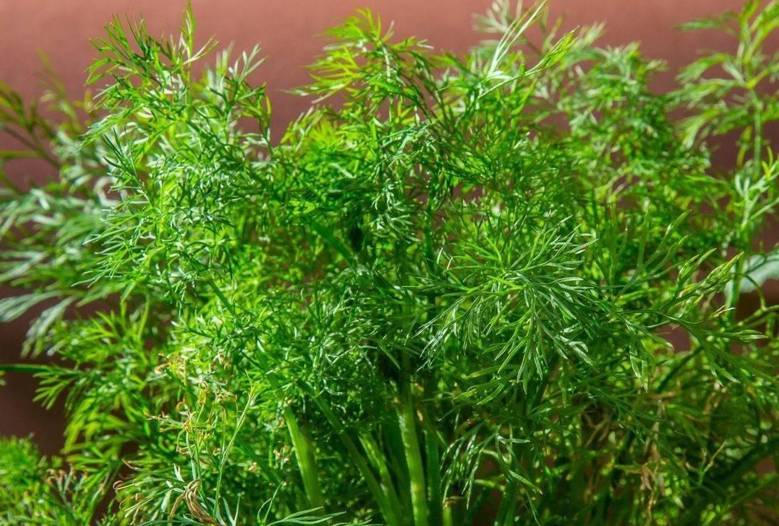 Как правильно выращивать укроп сорта кибрай?