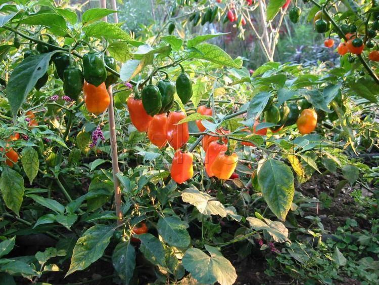Особенности и секреты выращивания перца хабанеро в домашних условиях