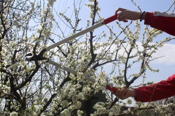 Как ухаживать за вишней летом, осенью и весной после сбора урожая