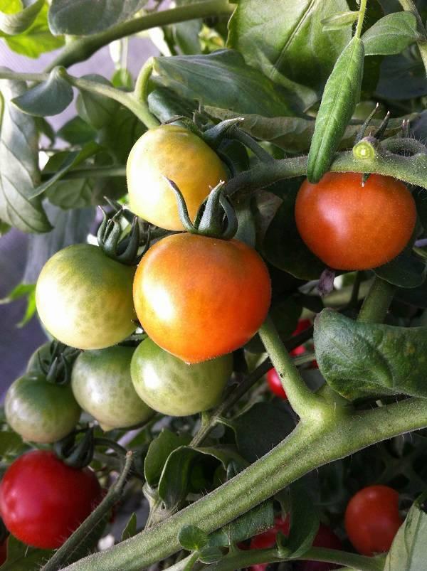 Сорт томата «краснобай f1»: описание, характеристика, посев на рассаду, подкормка, урожайность, фото, видео и самые распространенные болезни томатов