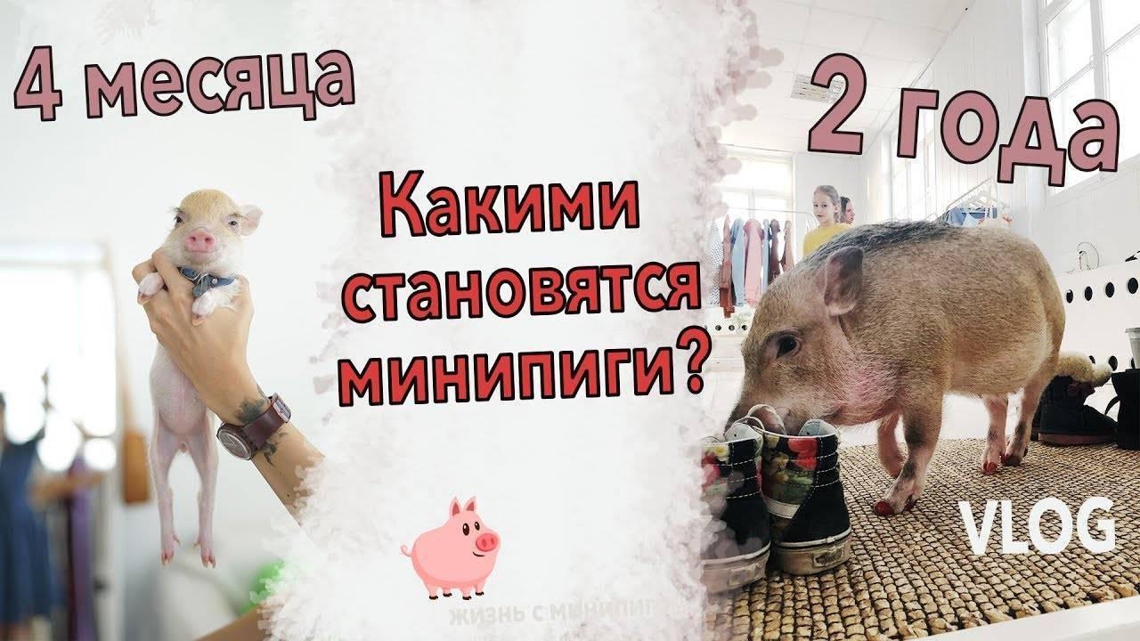 Карликовые декоративные свиньи мини-пиги: особенности содержания в домашних условиях