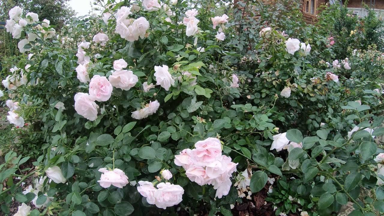Аспирин роза описание